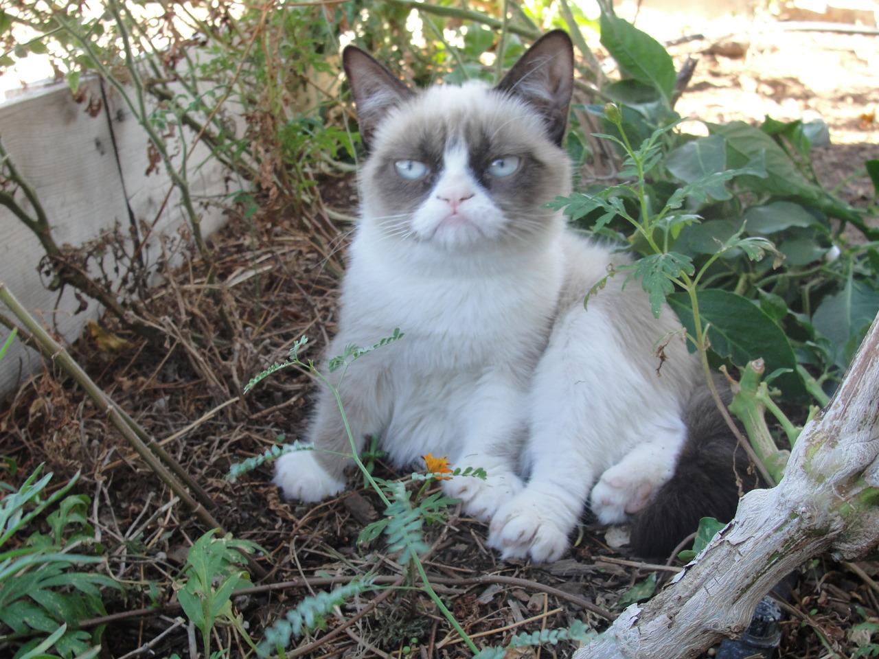 Jej fotky sa stali hitom internetu. Napriek svojmu nevrlému výrazu je to  vraj veľmi pokojná a milá mačka 9e0b8edc63f