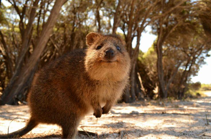 Kengurovité zvieratko žijúce v juhovýchodnej Austrálii. Najskôr ju  popisovali ako krysu vo veľkosti mačky 898375b20c3